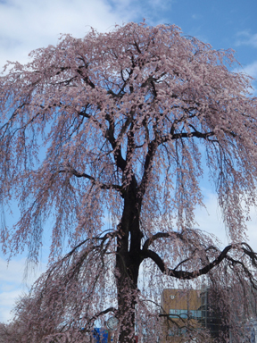 Weeping Cherry Blossom Tree